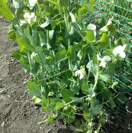 Что еще не поздно посеять в июне, что успеет зацвести и дать урожай