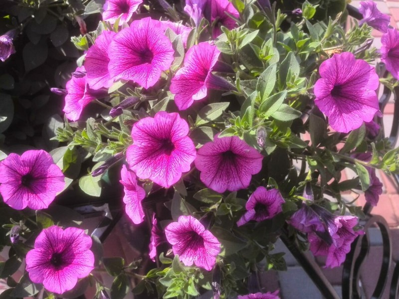 Что я делаю с петунией в мае для пышного цветения