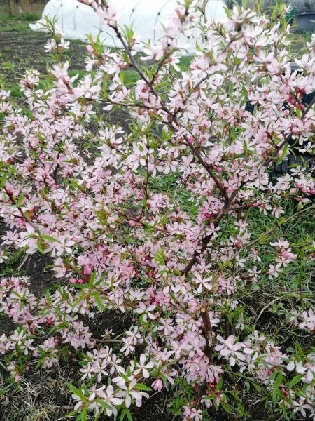 Цветет черемуха, а на подоконнике - лилия