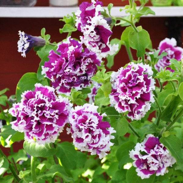 Цветы, которые я никому не рекомендую сажать на участке - очень капризные и много мороки