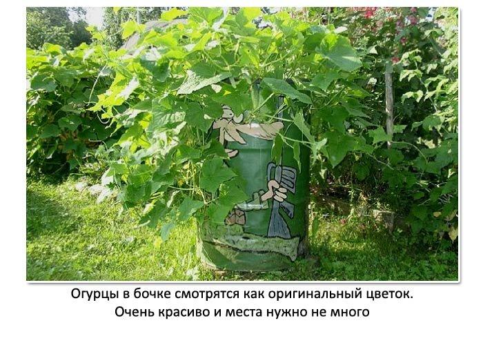 Даже на 3 кв. метрах можно вырастить много огурцов. Рассказываю про 3 эффективных способа выращивания огурцов