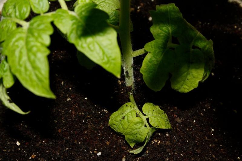 Делаю важную подкормку после высадки томатов. Чтобы не опадали кисти, а рассада хорошо развивалась