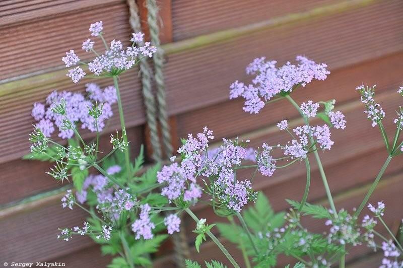 Ещё 5 зонтичных цветов моего сада