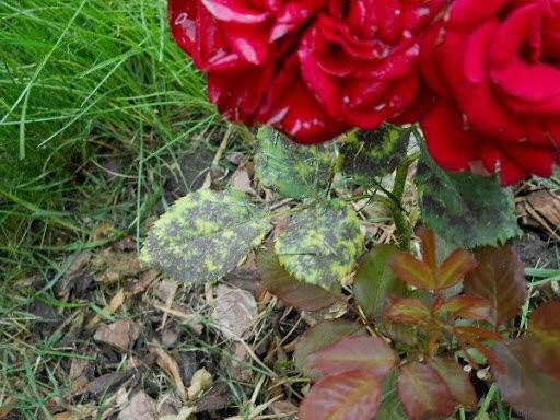 Как бороться с болезнями роз