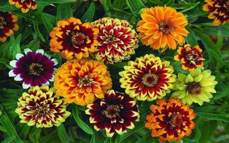 Как посадить циннии, чтобы добиться пышного цветения.