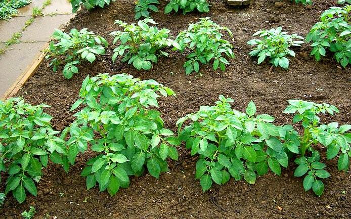 Как посадить картофель быстро и легко, увидела у опытного дачника и теперь использую сама