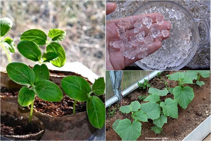 Как посадить огурцы в теплицу — 4 совета для разумных огородников: меньше ухода, лучше урожай!