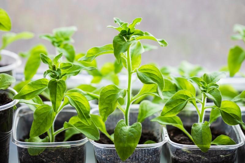 Как высадить рассаду петунии, чтобы быстрее прижилась, разрослась и пышно цвела. Уже знаю по опыту