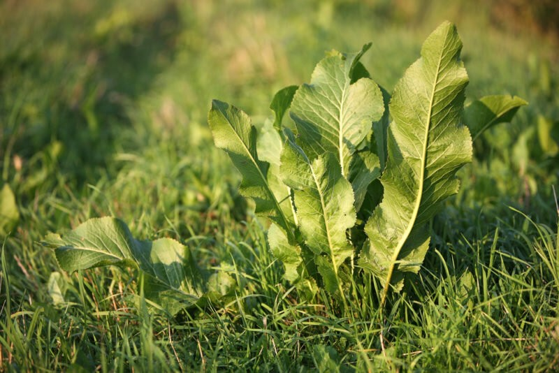 Как вывести хрен с огорода — методы борьбы с растением