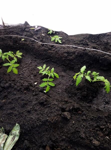 Когда высаживать томаты в открытый грунт в мае? Оптимальное время.
