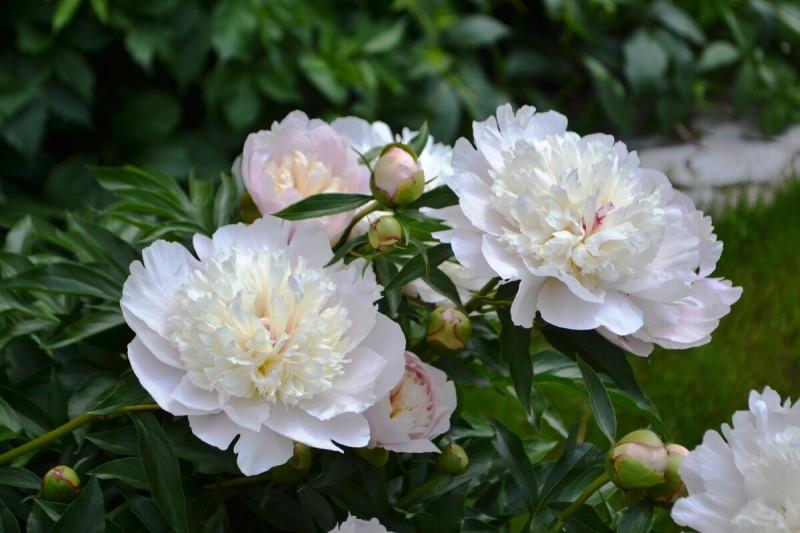 Май - надо подкормить пион. Мой пышно цветет каждый год после щепотки удобрения