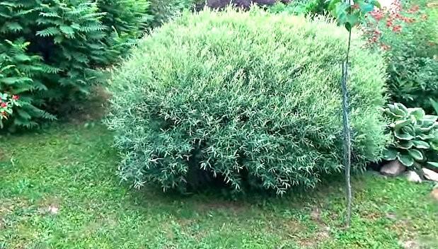 Опытный садовод посоветовал редкие и красивые кустарники для сада