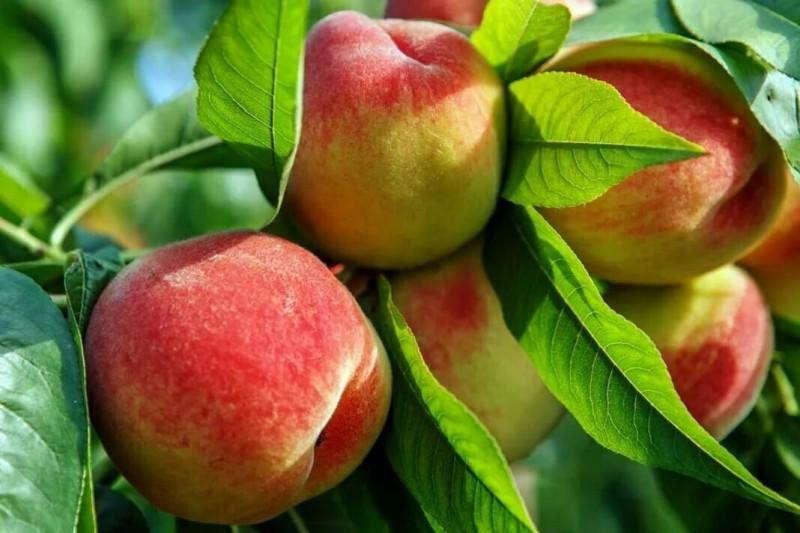 Почему лучше сажать не только ранние, но и поздние сорта плодовых деревьев