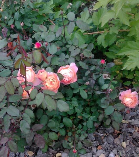Почему розы не набирают бутонов или цветут, но очень тихо? Некоторые из причин вполне разрешимы!