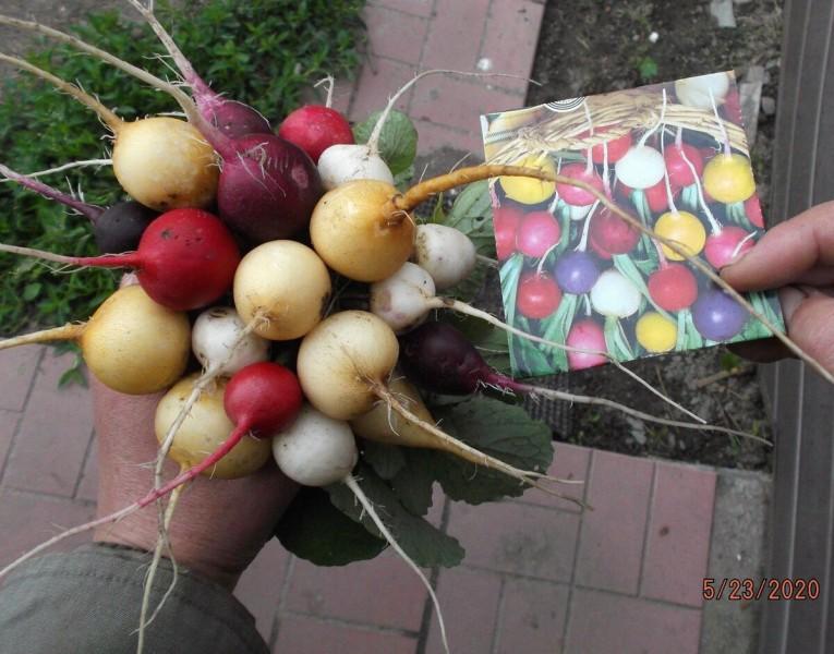 Посадила разноцветный редис. Делюсь своими впечатлениями.