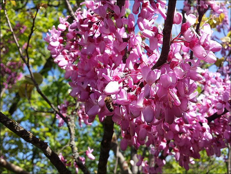 Посадка помидоров, что стало с луком и как цветёт иудино дерево.
