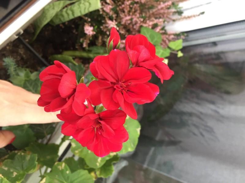 Прекрасный балкон в Пеларгонии , почему стоит выращивать эти цветы?