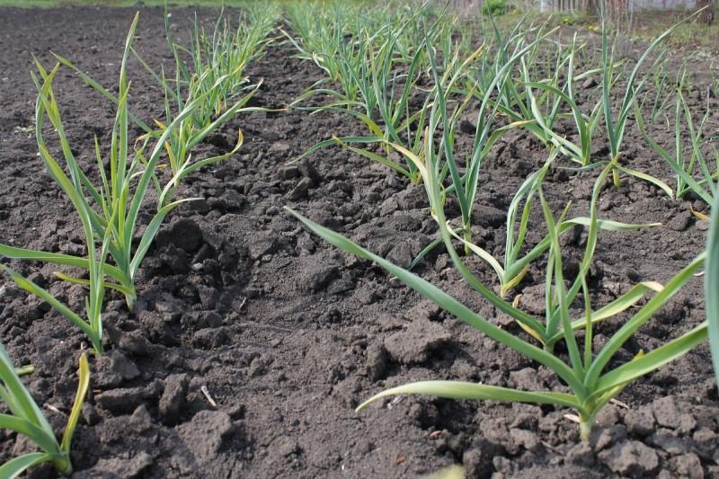 Простая агротехника увеличивающая урожайность чеснока и вкусовые качества!