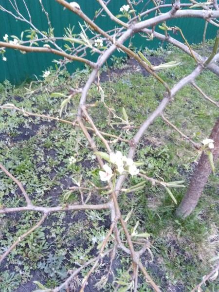 Решили посадить абрикос, двух- и четырехлетний, теперь буду ждать, который быстрее заплодоносит