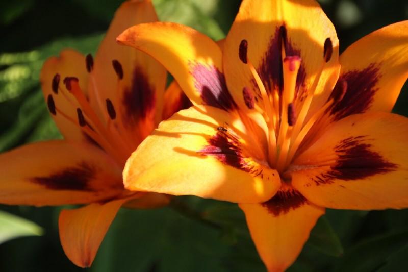 Роскошны лилии в цвету