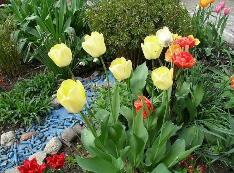 Тюльпаны отцветают: что делать дальше