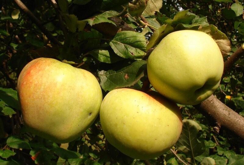 Три сорта вкусных яблок, которые созревают раньше «Папировки», «Белого налива». Специально для Подмосковья, думаю надо посадидь