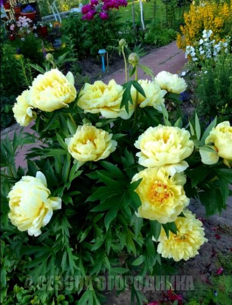 """Упросила соседку и она научила меня """"хитростям"""": Увеличиваем бутоны и продлеваем цветение пионов"""