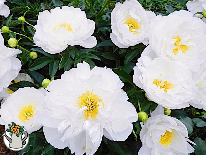 Узнала, как сделать, чтобы на кусте пиона одновременно цвели 50 цветков. Делюсь секретом