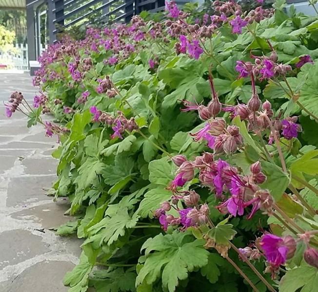 Вечнозеленые декоративные многолетники для сада