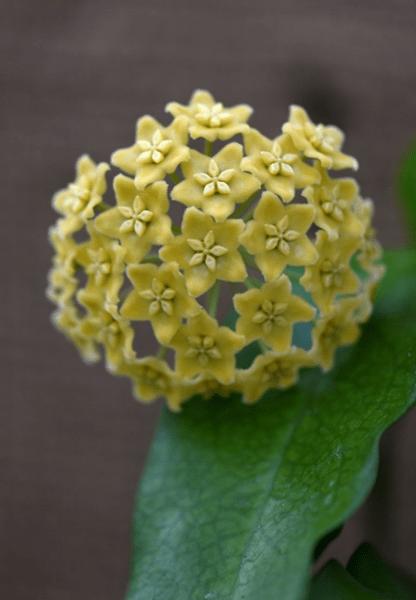 Вот так цветочек - хойя!