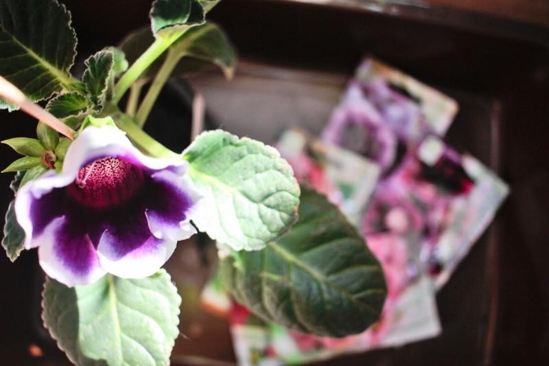 Выращиваем глоксинии из семян.