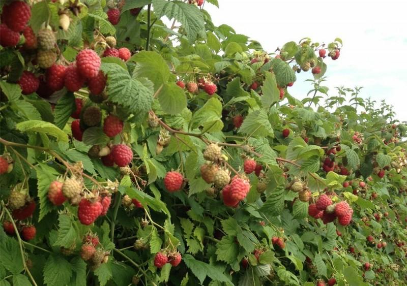 Выращиваю малинник на одном месте без потерь плодоношения