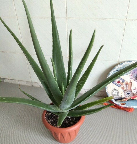 Забытые комнатные растения из СССР