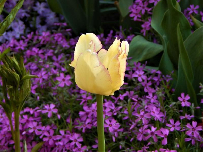 10 причин посадить шиловидные флоксы в саду.