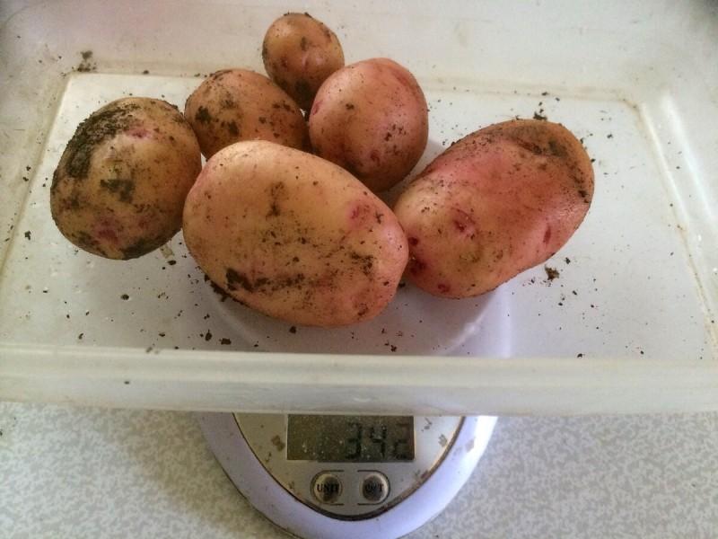 Чем завершился эксперимент по выращиванию раннего картофеля.