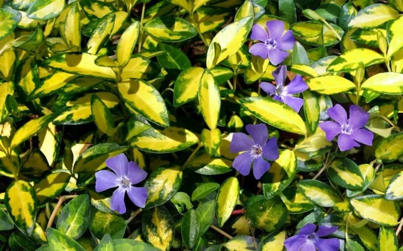 Цветы, которые вытесняют Сорняки из сада. Сэкономьте силы на борьбу с сорняками, просто посадив Прекрасные растения
