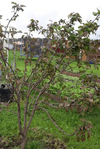 Эти растения Опасны в Саду. Угнетают Яблони и Груши и распространяют инфекции, лишают Урожая. Как спасти урожай