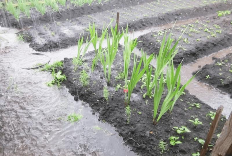 Как избежать корневой гнили у растений, когда идут дожди и переизбыток влажности почвы