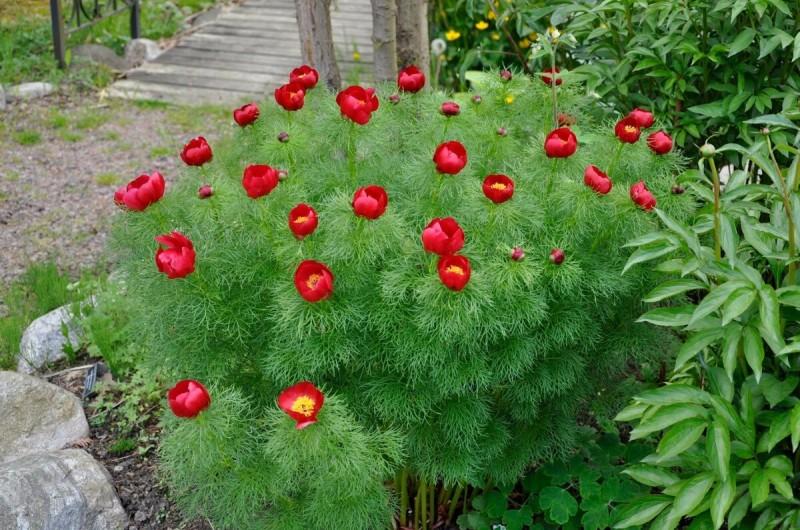 Как продлить цветение пионов на даче на 1-2 недели: напишу хитрости, которыми пользуюсь сама
