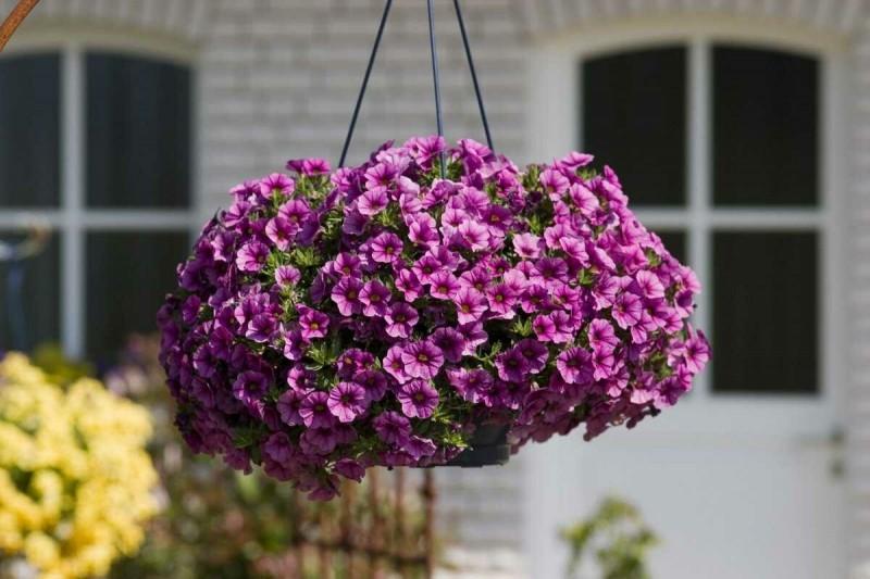Как вырастить пышную и цветущую петунию в кашпо или ящике. Записываю особый уход по пунктам