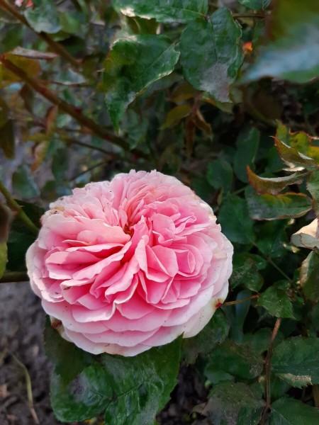 Как защитить розы от тли и листоедов.