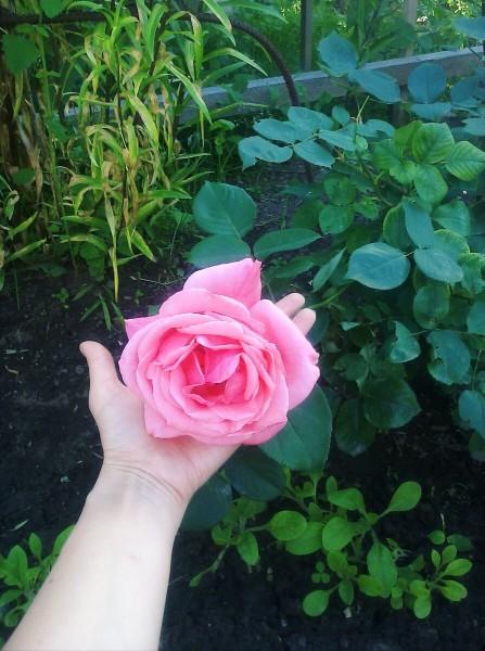 Лучшая подкормка для роз. Пойдут быстро в рост, будут пышными и очень душистыми