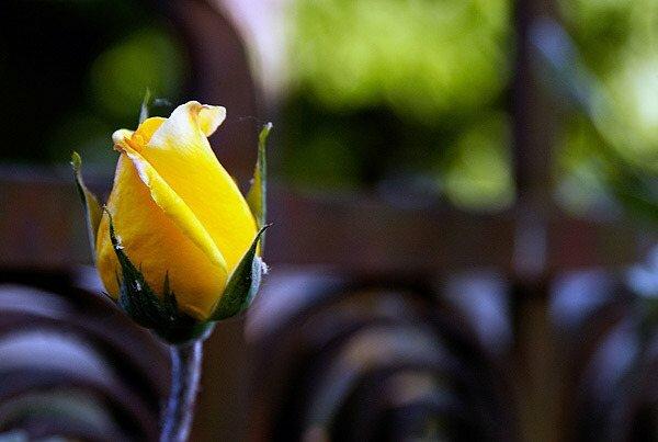 На розах темнеют бутоны: что нужно делать?