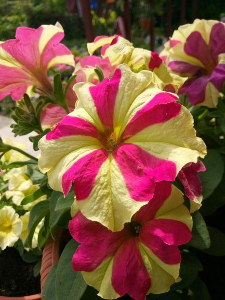 Обильное цветение петунии: все просто, если знать несколько секретов!