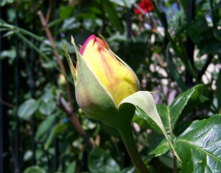 Почему сохнут и опадают бутоны роз