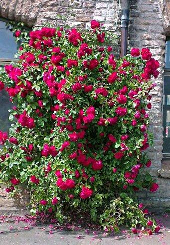 Посадите кустовую розу и не пожалеете об этом никогда. Схема посадки и ее тонкости о которых молчат спецы.