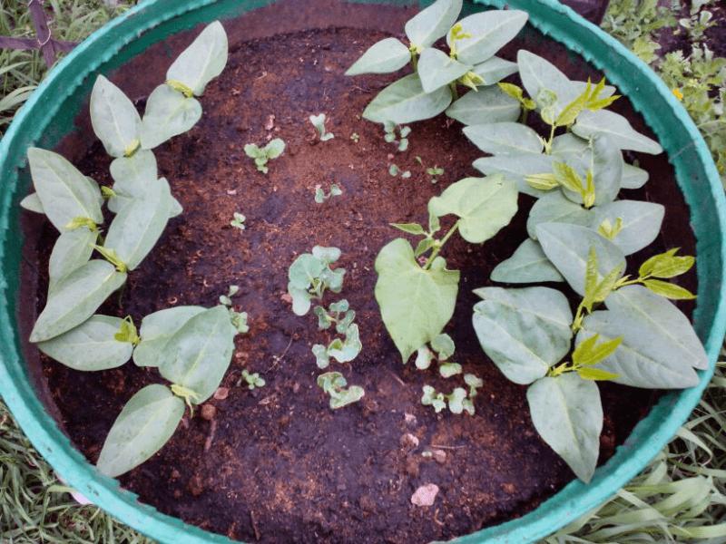 Посадка капусты и уход в начале роста