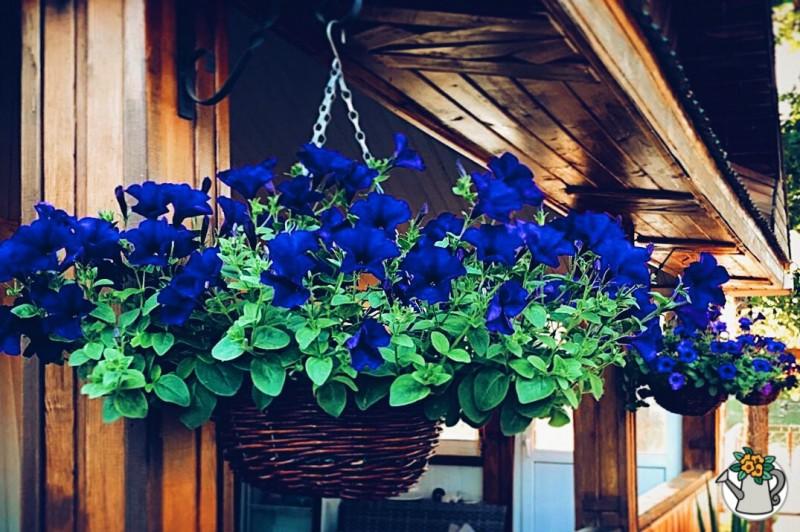 Профессиональный разводчик петуний рассказал, что нужно делать, чтобы вырастить их в подвесных вазонах и они радовали все лето