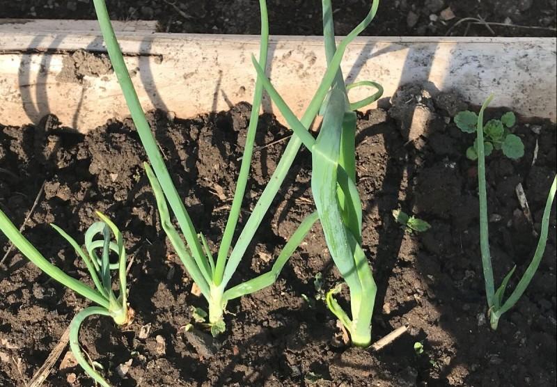 Распространенная ошибка в выращивании лука: ломается и падает перо. Срочный план действий