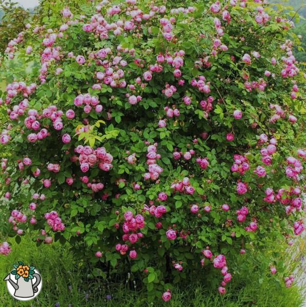 Рассказываю как вместо купленной кустовой розы случайно вырос неординарный вид и все соседи теперь приходят просить отростки